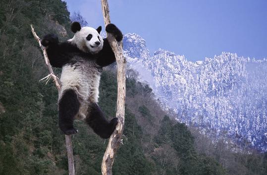 野生动物摄影师在卧龙拍摄雪中大熊猫(组图)