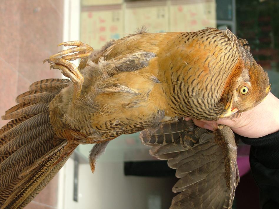 经鉴定,怪鸟是国家二级保护动物锦鸡,这只锦鸡为刚成年的雄性.