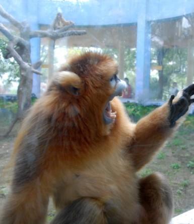 """动物园给金丝猴看""""a片""""助孕"""