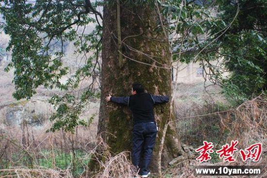 秦楚网讯 记者 闵波 通讯员 严浩 报道:3月10日,湖北大学考察组在竹溪县鄂坪乡三同村一峡谷中考察时,发现一棵巨大的古树,初步鉴定为楠木,树龄在300年左右。   该树高约30米,冠径21米,主干有三个成年人合抱粗,直径在一米七以上,茂密的树枝上开满了黄绿色的小花,显示出勃勃生机,整个植株没有被砍伐、虫蛀的痕迹,保存十分完好。初步鉴定为楠木,是迄今为止在竹溪发现的最大的楠木,堪称楠木王。考察组在楠木王的附近还发现有大量小楠木。
