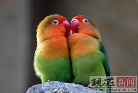 壁纸 动物 鸟 鹦鹉 450_302