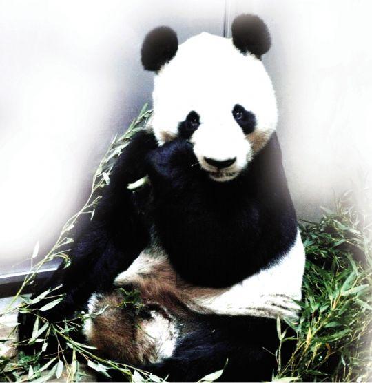 饲养在该市滩区的市立王子动物园内的14岁雄性大熊猫