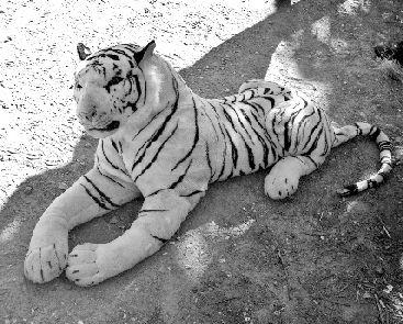 白老虎图片大全大图