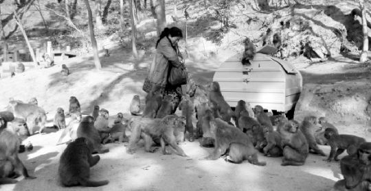 12年伤万人黔灵山猴患难治